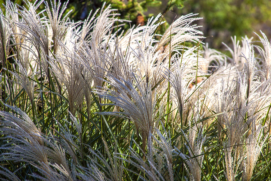 Blowing Grasses